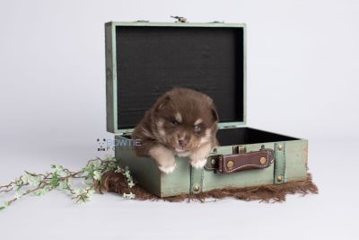puppy129 week3 BowTiePomsky.com Bowtie Pomsky Puppy For Sale Husky Pomeranian Mini Dog Spokane WA Breeder Blue Eyes Pomskies Celebrity Puppy web1