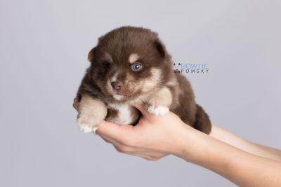 puppy129 week3 BowTiePomsky.com Bowtie Pomsky Puppy For Sale Husky Pomeranian Mini Dog Spokane WA Breeder Blue Eyes Pomskies Celebrity Puppy web7