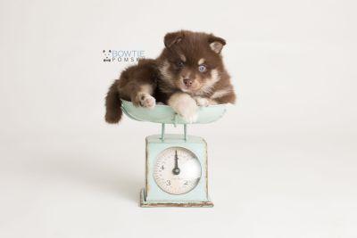 puppy129 week5 BowTiePomsky.com Bowtie Pomsky Puppy For Sale Husky Pomeranian Mini Dog Spokane WA Breeder Blue Eyes Pomskies Celebrity Puppy web-logo2