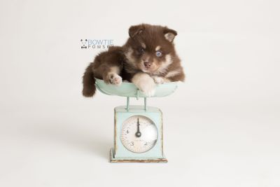 puppy129 week5 BowTiePomsky.com Bowtie Pomsky Puppy For Sale Husky Pomeranian Mini Dog Spokane WA Breeder Blue Eyes Pomskies Celebrity Puppy web-logo2