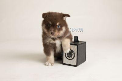puppy129 week5 BowTiePomsky.com Bowtie Pomsky Puppy For Sale Husky Pomeranian Mini Dog Spokane WA Breeder Blue Eyes Pomskies Celebrity Puppy web-logo4