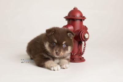 puppy129 week5 BowTiePomsky.com Bowtie Pomsky Puppy For Sale Husky Pomeranian Mini Dog Spokane WA Breeder Blue Eyes Pomskies Celebrity Puppy web-logo5