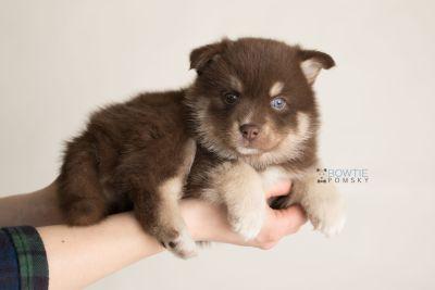 puppy129 week5 BowTiePomsky.com Bowtie Pomsky Puppy For Sale Husky Pomeranian Mini Dog Spokane WA Breeder Blue Eyes Pomskies Celebrity Puppy web-logo8