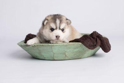 puppy130 week3 BowTiePomsky.com Bowtie Pomsky Puppy For Sale Husky Pomeranian Mini Dog Spokane WA Breeder Blue Eyes Pomskies Celebrity Puppy web3