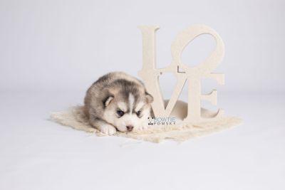 puppy130 week3 BowTiePomsky.com Bowtie Pomsky Puppy For Sale Husky Pomeranian Mini Dog Spokane WA Breeder Blue Eyes Pomskies Celebrity Puppy web4
