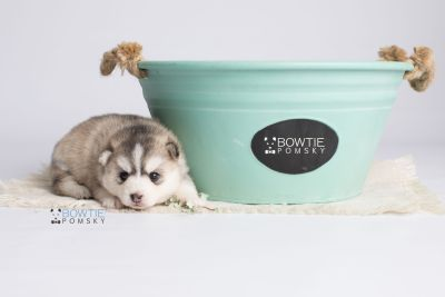 puppy130 week3 BowTiePomsky.com Bowtie Pomsky Puppy For Sale Husky Pomeranian Mini Dog Spokane WA Breeder Blue Eyes Pomskies Celebrity Puppy web5