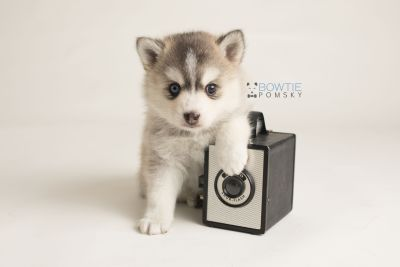 puppy130 week5 BowTiePomsky.com Bowtie Pomsky Puppy For Sale Husky Pomeranian Mini Dog Spokane WA Breeder Blue Eyes Pomskies Celebrity Puppy web-logo4