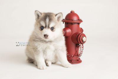 puppy130 week5 BowTiePomsky.com Bowtie Pomsky Puppy For Sale Husky Pomeranian Mini Dog Spokane WA Breeder Blue Eyes Pomskies Celebrity Puppy web-logo5