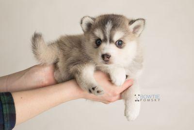 puppy130 week5 BowTiePomsky.com Bowtie Pomsky Puppy For Sale Husky Pomeranian Mini Dog Spokane WA Breeder Blue Eyes Pomskies Celebrity Puppy web-logo8