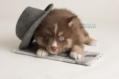 puppy131 week5 BowTiePomsky.com Bowtie Pomsky Puppy For Sale Husky Pomeranian Mini Dog Spokane WA Breeder Blue Eyes Pomskies Celebrity Puppy web-logo3