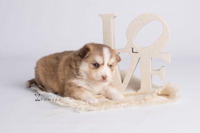 puppy132 week3 BowTiePomsky.com Bowtie Pomsky Puppy For Sale Husky Pomeranian Mini Dog Spokane WA Breeder Blue Eyes Pomskies Celebrity Puppy web4