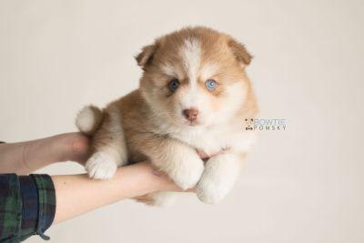 puppy132 week5 BowTiePomsky.com Bowtie Pomsky Puppy For Sale Husky Pomeranian Mini Dog Spokane WA Breeder Blue Eyes Pomskies Celebrity Puppy web-logo8