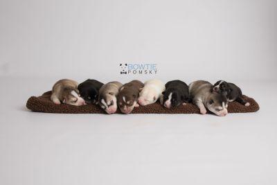 puppy133-140 week1 BowTiePomsky.com Bowtie Pomsky Puppy For Sale Husky Pomeranian Mini Dog Spokane WA Breeder Blue Eyes Pomskies Celebrity Puppy web1