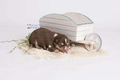 puppy134 week1 BowTiePomsky.com Bowtie Pomsky Puppy For Sale Husky Pomeranian Mini Dog Spokane WA Breeder Blue Eyes Pomskies Celebrity Puppy web2