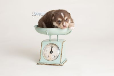 puppy134 week3 BowTiePomsky.com Bowtie Pomsky Puppy For Sale Husky Pomeranian Mini Dog Spokane WA Breeder Blue Eyes Pomskies Celebrity Puppy web-logo1