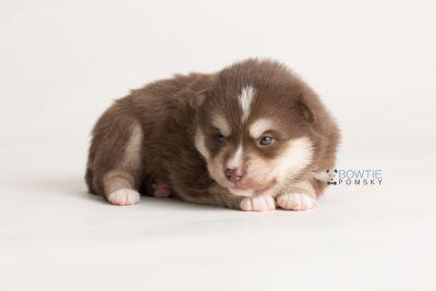 puppy134 week3 BowTiePomsky.com Bowtie Pomsky Puppy For Sale Husky Pomeranian Mini Dog Spokane WA Breeder Blue Eyes Pomskies Celebrity Puppy web-logo8