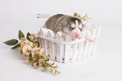 puppy135 week1 BowTiePomsky.com Bowtie Pomsky Puppy For Sale Husky Pomeranian Mini Dog Spokane WA Breeder Blue Eyes Pomskies Celebrity Puppy web1