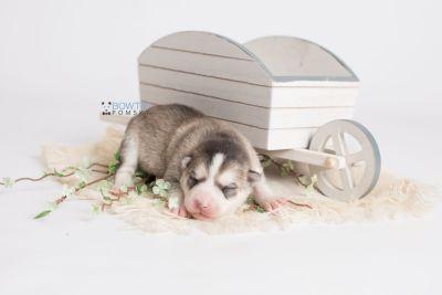 puppy135 week1 BowTiePomsky.com Bowtie Pomsky Puppy For Sale Husky Pomeranian Mini Dog Spokane WA Breeder Blue Eyes Pomskies Celebrity Puppy web2