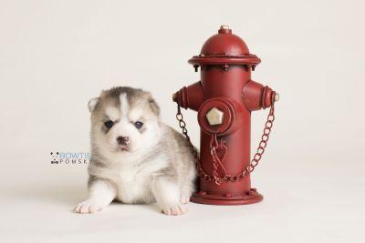 puppy135 week3 BowTiePomsky.com Bowtie Pomsky Puppy For Sale Husky Pomeranian Mini Dog Spokane WA Breeder Blue Eyes Pomskies Celebrity Puppy web-logo3