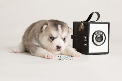 puppy135 week3 BowTiePomsky.com Bowtie Pomsky Puppy For Sale Husky Pomeranian Mini Dog Spokane WA Breeder Blue Eyes Pomskies Celebrity Puppy web-logo4