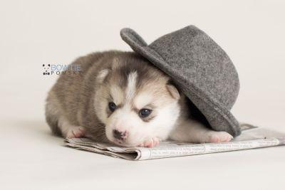 puppy135 week3 BowTiePomsky.com Bowtie Pomsky Puppy For Sale Husky Pomeranian Mini Dog Spokane WA Breeder Blue Eyes Pomskies Celebrity Puppy web-logo5