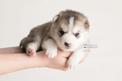 puppy135 week3 BowTiePomsky.com Bowtie Pomsky Puppy For Sale Husky Pomeranian Mini Dog Spokane WA Breeder Blue Eyes Pomskies Celebrity Puppy web-logo8