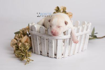 puppy136 week1 BowTiePomsky.com Bowtie Pomsky Puppy For Sale Husky Pomeranian Mini Dog Spokane WA Breeder Blue Eyes Pomskies Celebrity Puppy web1