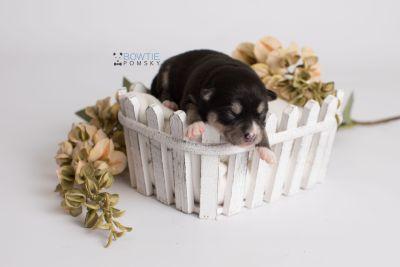 puppy137 week1 BowTiePomsky.com Bowtie Pomsky Puppy For Sale Husky Pomeranian Mini Dog Spokane WA Breeder Blue Eyes Pomskies Celebrity Puppy web1