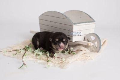 puppy137 week1 BowTiePomsky.com Bowtie Pomsky Puppy For Sale Husky Pomeranian Mini Dog Spokane WA Breeder Blue Eyes Pomskies Celebrity Puppy web2