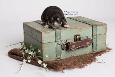 puppy137 week1 BowTiePomsky.com Bowtie Pomsky Puppy For Sale Husky Pomeranian Mini Dog Spokane WA Breeder Blue Eyes Pomskies Celebrity Puppy web4