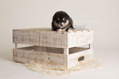 puppy137 week3 BowTiePomsky.com Bowtie Pomsky Puppy For Sale Husky Pomeranian Mini Dog Spokane WA Breeder Blue Eyes Pomskies Celebrity Puppy web-logo2