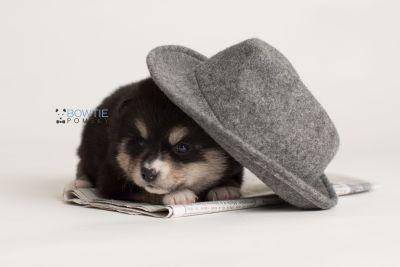 puppy137 week3 BowTiePomsky.com Bowtie Pomsky Puppy For Sale Husky Pomeranian Mini Dog Spokane WA Breeder Blue Eyes Pomskies Celebrity Puppy web-logo5