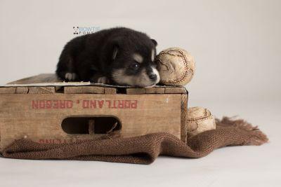 puppy137 week3 BowTiePomsky.com Bowtie Pomsky Puppy For Sale Husky Pomeranian Mini Dog Spokane WA Breeder Blue Eyes Pomskies Celebrity Puppy web-logo6