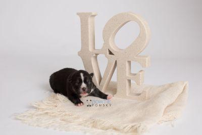 puppy138 week1 BowTiePomsky.com Bowtie Pomsky Puppy For Sale Husky Pomeranian Mini Dog Spokane WA Breeder Blue Eyes Pomskies Celebrity Puppy web3