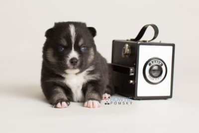 puppy138 week3 BowTiePomsky.com Bowtie Pomsky Puppy For Sale Husky Pomeranian Mini Dog Spokane WA Breeder Blue Eyes Pomskies Celebrity Puppy web-logo4