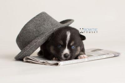 puppy138 week3 BowTiePomsky.com Bowtie Pomsky Puppy For Sale Husky Pomeranian Mini Dog Spokane WA Breeder Blue Eyes Pomskies Celebrity Puppy web-logo5