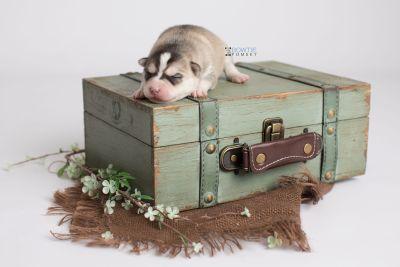 puppy139 week1 BowTiePomsky.com Bowtie Pomsky Puppy For Sale Husky Pomeranian Mini Dog Spokane WA Breeder Blue Eyes Pomskies Celebrity Puppy web4