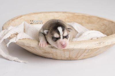 puppy139 week1 BowTiePomsky.com Bowtie Pomsky Puppy For Sale Husky Pomeranian Mini Dog Spokane WA Breeder Blue Eyes Pomskies Celebrity Puppy web6
