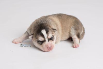 puppy139 week1 BowTiePomsky.com Bowtie Pomsky Puppy For Sale Husky Pomeranian Mini Dog Spokane WA Breeder Blue Eyes Pomskies Celebrity Puppy web7