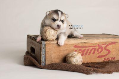 puppy139 week3 BowTiePomsky.com Bowtie Pomsky Puppy For Sale Husky Pomeranian Mini Dog Spokane WA Breeder Blue Eyes Pomskies Celebrity Puppy web-logo7