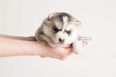 puppy139 week3 BowTiePomsky.com Bowtie Pomsky Puppy For Sale Husky Pomeranian Mini Dog Spokane WA Breeder Blue Eyes Pomskies Celebrity Puppy web-logo9