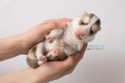 puppy140 week1 BowTiePomsky.com Bowtie Pomsky Puppy For Sale Husky Pomeranian Mini Dog Spokane WA Breeder Blue Eyes Pomskies Celebrity Puppy web8
