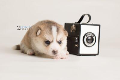 puppy140 week3 BowTiePomsky.com Bowtie Pomsky Puppy For Sale Husky Pomeranian Mini Dog Spokane WA Breeder Blue Eyes Pomskies Celebrity Puppy web-logo4