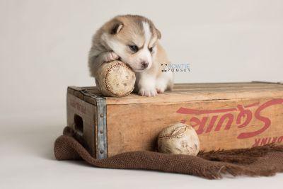 puppy140 week3 BowTiePomsky.com Bowtie Pomsky Puppy For Sale Husky Pomeranian Mini Dog Spokane WA Breeder Blue Eyes Pomskies Celebrity Puppy web-logo7