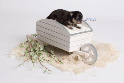 puppy141 week1 BowTiePomsky.com Bowtie Pomsky Puppy For Sale Husky Pomeranian Mini Dog Spokane WA Breeder Blue Eyes Pomskies Celebrity Puppy web1