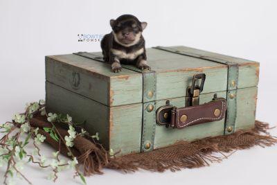 puppy141 week1 BowTiePomsky.com Bowtie Pomsky Puppy For Sale Husky Pomeranian Mini Dog Spokane WA Breeder Blue Eyes Pomskies Celebrity Puppy web6