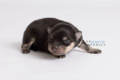 puppy141 week1 BowTiePomsky.com Bowtie Pomsky Puppy For Sale Husky Pomeranian Mini Dog Spokane WA Breeder Blue Eyes Pomskies Celebrity Puppy web7