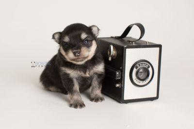 puppy141 week3 BowTiePomsky.com Bowtie Pomsky Puppy For Sale Husky Pomeranian Mini Dog Spokane WA Breeder Blue Eyes Pomskies Celebrity Puppy web-logo4