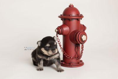puppy141 week3 BowTiePomsky.com Bowtie Pomsky Puppy For Sale Husky Pomeranian Mini Dog Spokane WA Breeder Blue Eyes Pomskies Celebrity Puppy web-logo5