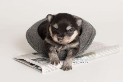puppy141 week3 BowTiePomsky.com Bowtie Pomsky Puppy For Sale Husky Pomeranian Mini Dog Spokane WA Breeder Blue Eyes Pomskies Celebrity Puppy web-logo6